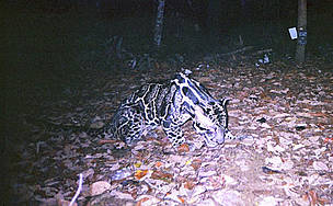 Clouded leopard  / ©: WWF / Indonesian Forest Protection and Nature Conservation / Virginia Tech