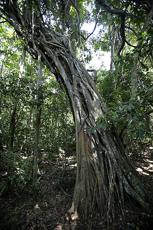 Strangling ficus in Kaya Kinondo Forest on the Kenyan coast, Kwale-Kenya. / ©: WWF-UK / Brent STIRTON / Getty Images