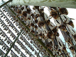 Cod drying. Lofoten Islands, Norway.