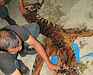 Sumatran tiger skin recovered in an operation run by BKSDA in Riau and West Sumatra Province with support from WWF Indonesia's Tiger Protection Unit. Payakumbuh, West Sumatra, Indonesia.