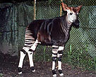 Okapi <em>(Okapia johnstoni)</em> Epulu, Ituri, Democratic Republic of Congo.
