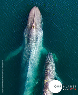 A blue whale mother and her calf, taken in the Sea of Cortez.  These are some of the first ever images of a blue whale mother and calf.