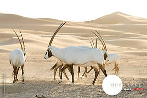 These are Arabian Oryx in the Empty Quarter are part of a reintroduced population after they went extinct in the wild in the 70's.