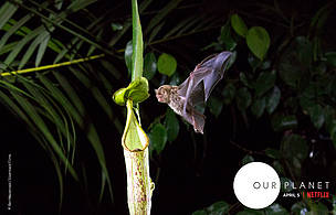 A Hardwicke's Woolly Bat flies into a Nepenthes pitcher plant