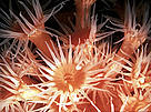 Coral polyps, California, USA. / ©: WWF / Sylvia EARLE