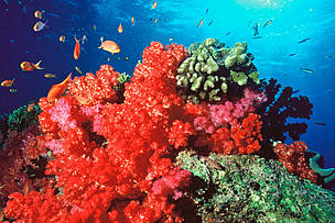 Coral reefs are home to a quarter of the world's marine life. The Great Barrier Reef is the largest living thing on Earth, and the only living thing visible from space. Reefs aren't just good for fish – 450 million people need them for food, jobs and protection from the sea. Good for health – medicines derived from corals fight diseases like HIV and cancer. Good for business – the Coral Triangle supports the livelihoods of more than 100 million people. Good for holidays – the Great Barrier Reef generates  $4.5 billion in tourism annually. But climate change, pollution and over-fishing are trashing reefs everywhere. A quarter of the world's coral reefs are damaged beyond repair. WWF is working to save these extraordinary underwater worlds.
