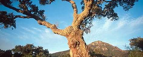 Cork oak tree set against a mountain back drop.  rel=