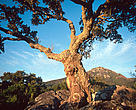 Cork oak tree high in the mountains near Alcala de los Gazules, Andalucia, Spain.