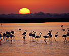 A group of Greater flamingos (<i>Phoenicopterus ruber</i>) in a marsh, at sunset, Coto Doñana National Park, Andalucia, Spain.
