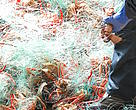Crabs caught in abandoned gillnets
