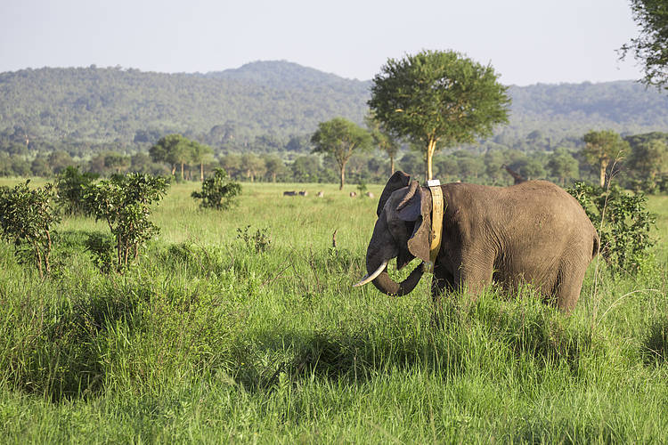Ecology and behavioral study of elephants in the Selous-Mikumi Ecosystem Annual Report