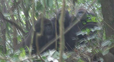 Cross River Gorilla WWF