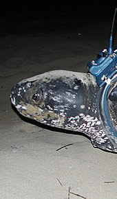 The leatherback turtle named Cristina. Click to view an enlarged picture / ©: WWF-Canon / Carlos Drews