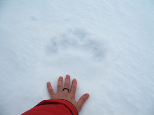 A polar bear's pawprint in the snow relative to a human hand.  	© Julia Langer / WWF
