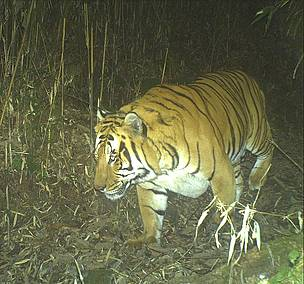 Camera trap image of Tiger captured at 2300 meters- Damji, Gasa, JDNP  	© WWF Bhutan