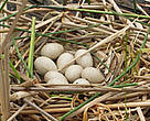 A clutch of eggs belonging to a species of Coot (Fulica atra)- one of the signs that birds are returning to Tataru Islan