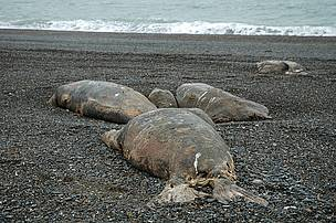 Dead walruses along the beach, west of Ryrkaypiu, Chukotka, Russa.      © Tom Arnbom