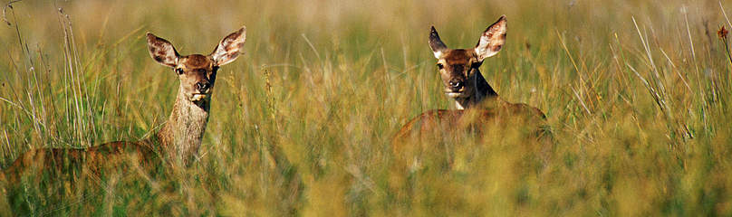 Deer in long grass  	© JORGE SIERRA / WWF-Spain