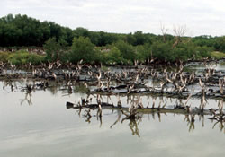 Severely degraded mangroves due to rising sea levels and clearing for commercial shrimp and salt farms, Thailand. These factors have contributed greatly to the destruction of large tracts of coastal mangroves in the country.