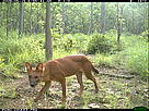 A camera trap photo of a dhole (Asiatic wild dog) taken in the dry forests of Mondulkiri Protected Forest in northeastern Cambodia's Eastern Plains Landscape