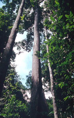 Large Dipterocarpaceae tree, a popular timber species. / ©: WWF / Sylvia Jane YORATH