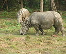 Greater One Horned Rhinoceros (Rhinoceros Unicornis)
