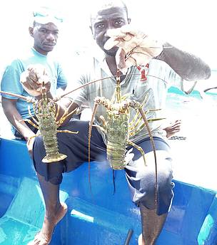Lobster Populations coming back after a decade of scarcity