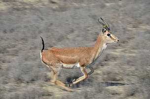 Reintroduction of Gazelles