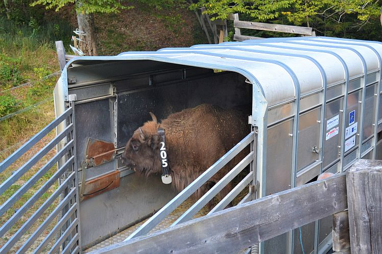 Another Successful Bison Transport in the Southern Carpathians
