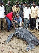 WWF Director General, Jim Leape (R)and CARPO Representative, Laurent Somé (L) at the rescue of a leatherback turtle on the beaches of Campo Ma'an