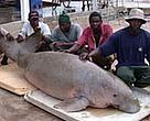 The dugong caught by fishermen in Tanzania.