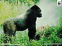Download Eastern Lowland Gorilla Wallpaper