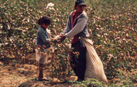 Picking cotton near Piura, Peru. / ©: WWF / Edward PARKER