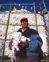 Harvested cotton from the irrigated lands of the Chihuahua Desert near Chihuahua City, Chihuahua, ... / ©: WWF / Edward PARKER