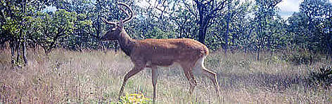 Eld's deer photographed in Stung Treng province, northern Cambodia, is one of the main indicator ... rel=