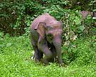 The elephants of Borneo are smaller than their Asian elephant cousins elsewhere
