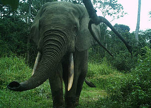 © WWF ETIC/camera trap