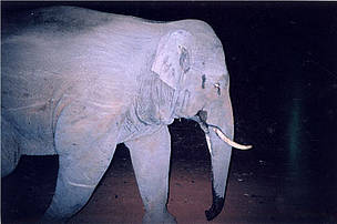 Asian elephant in Cat Tien National Park, Vietnam.