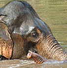 Asian elephant taking a bath in Xe Pian National Protected Area.