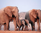 A recent count found approximately 500 African elephants in north-west Namibia.