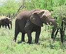 Elephant and calf in the Serengeti Tanzania