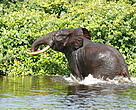 African Forest elephant crossing River at Loango National Park Gabon