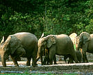 Heard of African/Forest Elephant hybrid, Loxodonta africana/a. cyclotis, Dzanga-Sangha Special Reserve.Central African Republic