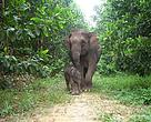 Sumatran elephant and its calf in Tesso Nilo National Park in Indonesia.