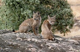 Lince ibérico – o Felino Mais Ameaçado do Mundo Especies_lince1_408409