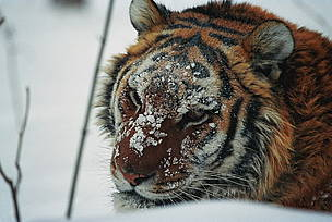 The Amur tiger is the largest of the five remaining tiger species.