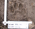 Female, Amur Leopard footprint