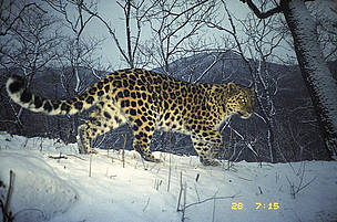 Narva is female amur leopard (<i>Panthera pardus orientalis</i>). She had recently had ...  	© WWF-Russia / ISUNR