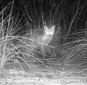 The image of this feral fox was captured from the same camera trap location as the Little ...      © Phil Lewis / WWF-Australia