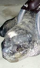 The leatherback turtle named Fermina. Click to view an enlarged picture  	© WWF / Carlos Drews